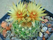 Escobaria missouriensis, winterhart, Steingarten-Pflanze, Kaktus