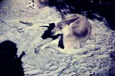 35mm Colour Slide- Kangaroo
