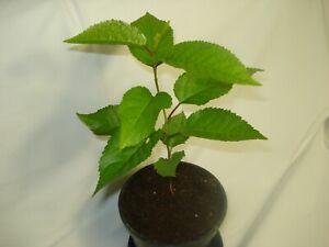Prunus avium fruit tree seedling UK WILD CHERRY