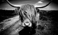 Impression Encadrée - Écossais Highland Vache Noir et Blanc ( Image Bulldog