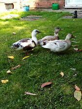 call ducks hatching eggs verry good fertility mixed colour. Good feedback