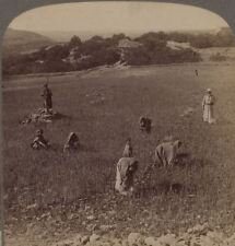 Palestine. Gathering Tares From Wheat in Fields of Bethel. Underwood Stereoview