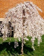 FALL PLANTING  1 Gal. DWARF JAPANESE WEEPING FLOWERING CHERRY TREES  + BONUS