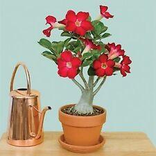 pink Adenium Obesum Desert Rose Bonsai Tree live plant