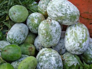 Wax Melon - Gourd - Benincasa hispida - 5+ seeds - DURABLE and FINE!