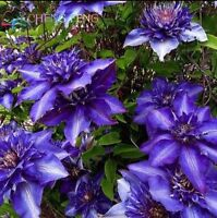 USA-Seller 50pcs/lot Mix Beautiful Clematis Seeds Bonsai Flower Seeds
