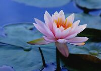 A1 Lotus Lily Flower Nature Poster Art Print 60 x 90cm 180gsm Decor Gift #13118