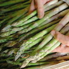 Millennium Asparagus 2 Yr Old Plants Crowns Bare Root Male Dominate 25 Count