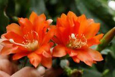 "Epiphyllum Blattkakteen Epicactus ""José Paetz"" Steckling"