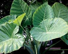 NEW 50 pcs Colocasia Plant Jacks Giant Elephant Ear Seeds