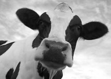 BEAUTIFUL DAIRY COW WALL ART  * LARGE A3 SiZE QUALITY CANVAS PRINT