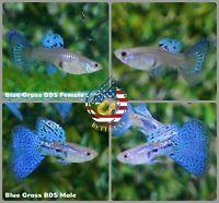 1 PAIR - Live Aquarium Guppy Fish High Quality - Blue Grass - USA Seller