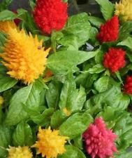 ♫ AMARANTHE - CELOSIE Plumeuse Colorée ♫ Graines ♫ Plante Ornementale, Gustative