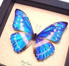 Real Framed Rare Morpho Cypris Blue Morpho Butterfly 7741