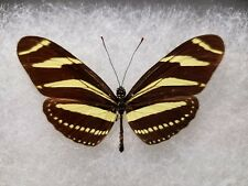 Heliconius charitonia ramsdeni Cuba Heliconid Framed Butterfly Insect Collection