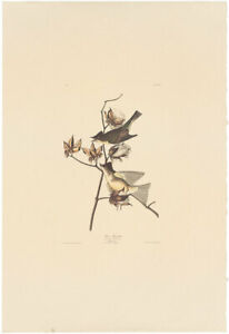 Audubon Amsterdam Ed Double Elephant Folio lithograph Pl 120 Peewee Flycatcher