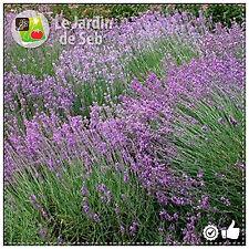 200 graines de Lavande Vraie - SEB-0039