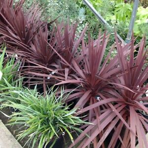 Cordyline australis Red Star-Cabbage Palm Plant in 9 cm pot