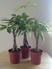MONEY TREE 5 BRAIDS Feng Shui Plant Pachira Aquatica Wealth. Live Plant. FREE SH