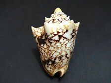 007-Voluta seashell  Cymbiola chrysostoma 56.5 mm.