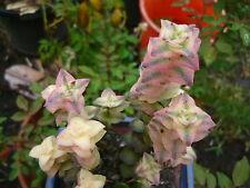 1X Succulents plant ~ 10# ~ Crassula perforata 'Variegata' String of Buttons