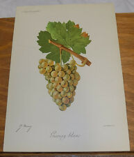 1901 Antique COLOR Print///GAMAY BLANC GRAPES