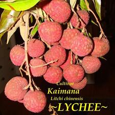 ~LYCHEE~ Cultivar KAIMANA Litchi chinensis TROPICAL FRUIT TREE LIVE Potted Plant