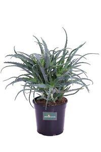 pianta di Aloe Arborescens pianta da interno pianta da esterno  Età 4 anni