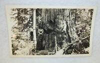 Real Photo Postcard - Western Washington - Lumberjacks 9 Foot Cedar Tree