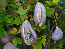 Planta del OLOR a chocolate ( akebia vine  ) FRUTO COMESTIBLE  8 semillas seeds