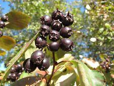 Hawthorn Tree 4 Variety 70 Fresh Seeds