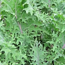 Vegetable Borecole Kale Red Russian Appx 1800 seeds