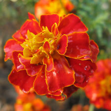 50 Red Peacock Grass Seed Marigold Tagetes Patula Garden Flowers