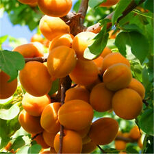 Sweet & Delicious * *APRICOT TREE* * 5-Finest Seeds**Hardy Variety**UK Seller