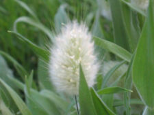 100 BUNNY TAILS GRASS Hares Tail Flower Seeds *CombS/H