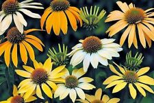 "ECHINACEA PURPUREA ""MELLOW YELLOWS"", CONEFLOWER 20 seeds"