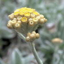 Huile essentielle d'Helichryse - Helichrysum gymnocephalum pure 10 ml