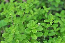 1000 Graines ORIGAN DES JARDINS ou Marjolaine Plant Herbe Aromatique