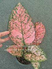 """New AGLAONEMA """"King of Coin """" New Variety SUPER RED Color RARE @@"""