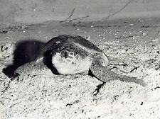 1957 Vintage DBLWT Photo Mother sea turtle camouflages buried eggs in beach sand