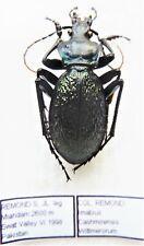 Carabus imabius cashmirensis wittmerorum (male A1) from PAKISTAN (Carabidae)
