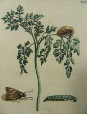 MARIA SIBYLLA MERIAN SCHMETTERLING FALTER RAUPE KERBEL KUPFERSTICH 1730 CHERVIL