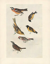 VINTAGE JOHN JAMES AUDUBON BIRD PRINT LONGSPUR WESTERN TANAGER REDPOLL GOLDFINCH