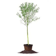Weeping Willow Tree, Live Plant, Size: 4-5 ft.