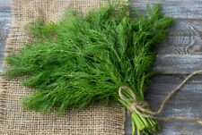 Organically Grown Heirloom Dill Seed 55+ Seeds Delicious #1 Spices Herb Seed USA