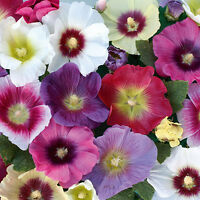 Hollyhock - Halo Mixed - 40 Seeds