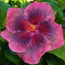 * Sweet Persuasion * Rooted Tropical Hibiscus Plant*Ships In Pot*