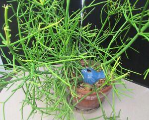 "Whole Branch Cutting Fire Stick EUPHORBIA TIRUCALLI Evergreen ""Pencil Cactus"""