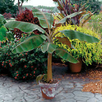 Buy 2 - Musa -  'Dwarf Cavendish' -  Banana Trees and get a free Root Pouch