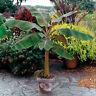 Musa -  'Dwarf Cavendish' -  Banana Tree